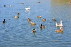 Oförskräckta lösa änder och gässen glider behagfullt vattnet Royaltyfri Bild