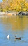 Oförskräckta lösa änder och gässen glider behagfullt vattnet Royaltyfri Foto