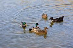 Oförskräckta lösa änder och gässen glider behagfullt vattnet Royaltyfria Bilder