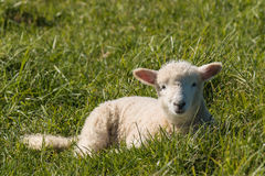 Free Of Lamb Resting On Grass Royalty Free Stock Photography - 58402827