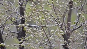 Ofall verde de las ramas de árbol dormido con nieve mojada almacen de metraje de vídeo