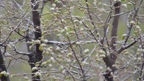 Ofall verde dei rami di albero addormentato con neve bagnata video d archivio