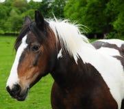 Ofcourse del cavallo Fotografia Stock