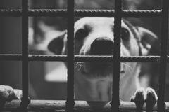 OfDog blanco y negro de la imagen que mira a través de la puerta fotografía de archivo libre de regalías
