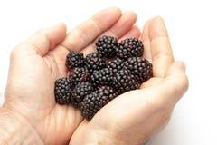 Oferecimento das mãos amoras-pretas deliciosas imagem de stock royalty free