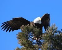 Off Balance Bald Eagle Landing in Pine Tree. Bald Eagle finding it`s balance after landing in a pine tree at the Sparks Marina in Sparks, Nevada Stock Images