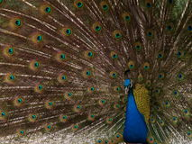 Off-center peacock with tail fully shown Royalty Free Stock Photo