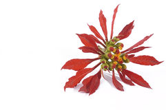 An off centered Poinsettia isolated Royalty Free Stock Image