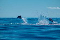 Striped dolphins jumping stock images