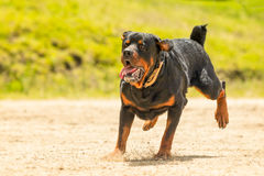 Off Leash Rottweiler Dog Royalty Free Stock Images