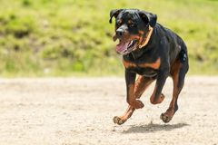 Off Leash Rottweiler Dog Stock Image