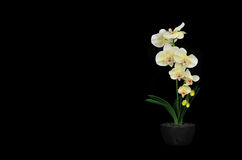 Orchid flower on black Stock Photos