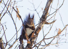 A off-white squirrel on stubbles. A off-white squirrel stand on the branchs  with mushroom,and puts its forepaws together Royalty Free Stock Images