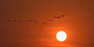 Offen-berechnete Storchvögel, die über den Sonnenuntergang des späten Nachmittages fliegen Stockfoto