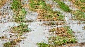 Offen-berechneter Storch, der nach Ernte einzieht Stockfotografie