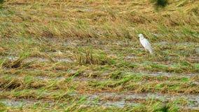 Offen-berechneter Storch, der nach Ernte einzieht Stockbild