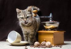 Offended tabby color kitten sits next to a manual coffee grinder and coffee grains royalty free stock photography