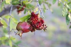 offene Baumfrucht des Granatsgranatapfels stockfotos