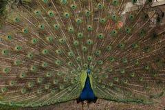 Offene Federn des schönen Pfautanzens Stockbild