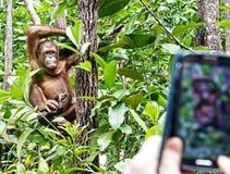 Offene Haltung eines Orang-Utans Utan und der touristischen Telefonkamera Lizenzfreie Stockfotos
