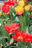 Offene und geschlossene Tulpenblumen Vertikales Foto O orange und gelbes tulipsflower im Fokus mit anderen roten und gelben Tulpe lizenzfreies stockfoto