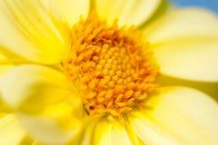 Offene Zeitspanne der L?wenzahnblume, extreme Nahaufnahme ?ber schwarzem Hintergrund Gelbe L?wenzahn-Blume des Makro eins ?ffnend lizenzfreie stockbilder