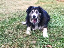 Offener Hund des Munds Lizenzfreie Stockfotos