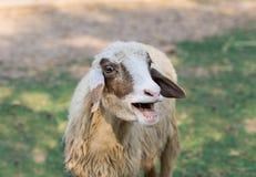 Offener Mund der kleinen Ziege im Naturhintergrund Stockfoto