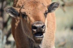 Offener Mund des Bisonbüffel-Kalbs Stockfotografie