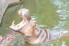 Offener Mund des Flusspferds für Wartenahrung im Wasserhintergrund lizenzfreie stockfotos