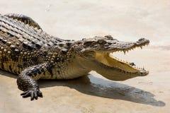 Offener Mund des Krokodils, der in der Sonne stillsteht Lizenzfreies Stockbild