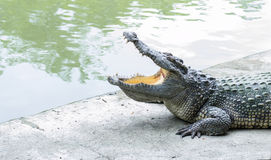 Offener Mund des Krokodils am Zoo Stockfoto
