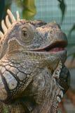 Offener Mund des Leguans Stockfotos