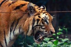 Offener Mund des Tigers Stockfotos