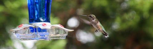 Offener Schnabel Ruby Hummingbirds Stockfotos