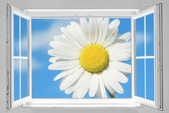 Offenes Fenster mit Gänseblümchen Stockfotografie