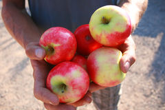 Offering of fresh apples. Man holds out his hands to offer fresh apples Royalty Free Stock Photos