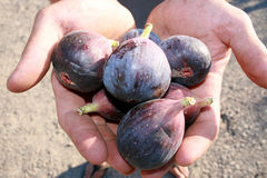 Offering of fresh figs. Hands holding an offering of fresh figs Royalty Free Stock Images