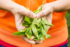 Offering freshly harvested tea leafs with fingers shaped like a heart. Stock Photo