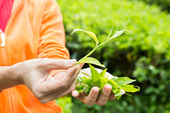 Offering freshly harvested tea leafs Stock Images