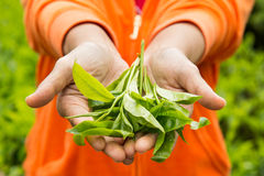 Offering freshly harvested tea leafs. Royalty Free Stock Photo