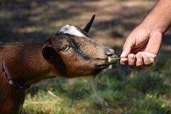 Offering nigerian dwarf goat a flower. Communicating with the family pet goat on a summers day royalty free stock photos