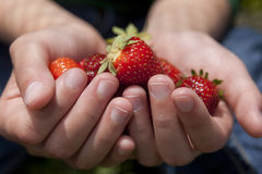 Offering some strawberries. Stock Photo
