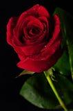 Offerta della rosa di colore rosso Immagine Stock