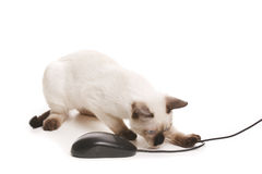 Office Cat. Siamese kitten plays with the computer mouse Royalty Free Stock Photography