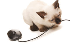 Office Cat. Siamese kitten eats the computer mouse Royalty Free Stock Images