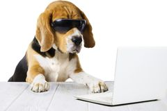 Unny dog beagle, works in a laptop at the table. Office cute, funny dog beagle, works in a laptop at the table stock image