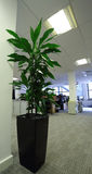 Office Plant. A plant in an office Royalty Free Stock Photography