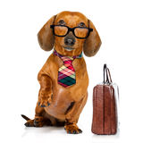 Office worker boss dog. Office worker businessman dachshund sausage dog as boss and chef , with suitcase or bag as a secretary, with tie , isolated on white Royalty Free Stock Photos