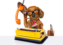 Office worker boss dog. Office worker businessman dachshund sausage dog as boss and chef , with suitcase and typewriter listening and hearing carefully on the Royalty Free Stock Photography